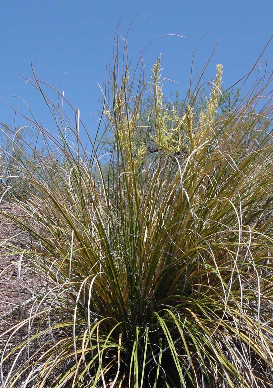 pics for gt bear grass flower