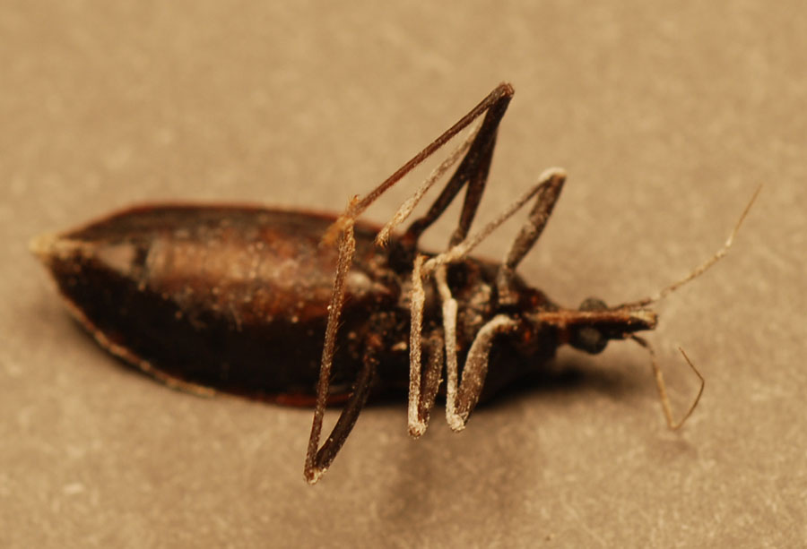 kissing bug. Most Cone-nosed Bugs have