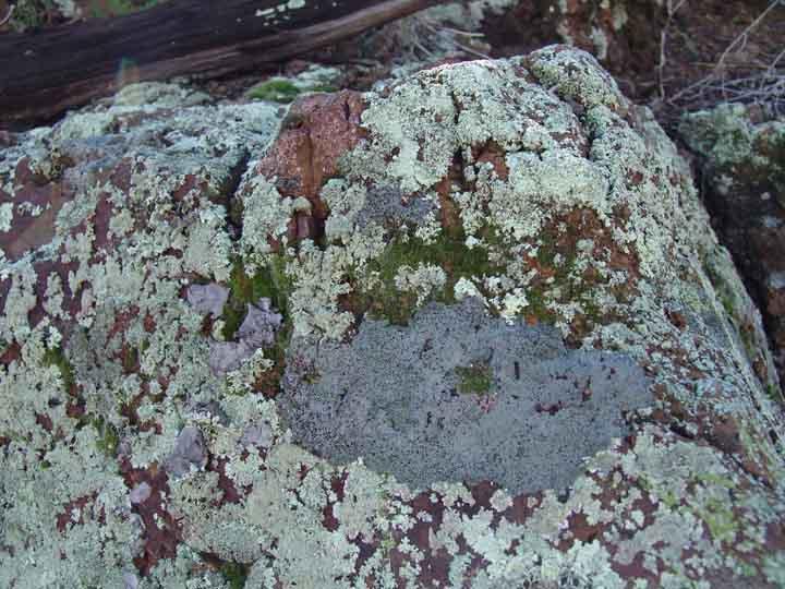 lichen - définition - C'est quoi