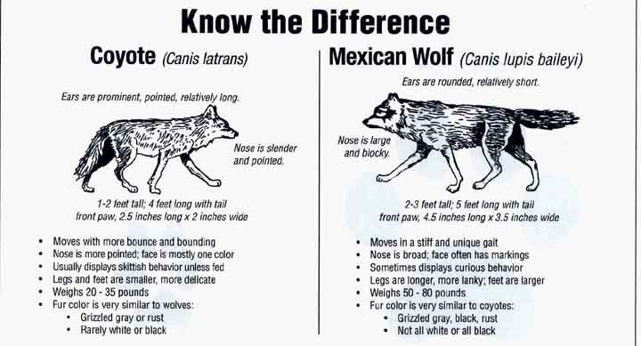 Wolf vs. coyote | Wild | Pinterest | Wolves, Coyotes and Wolf pictures
