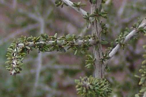 Graythorn